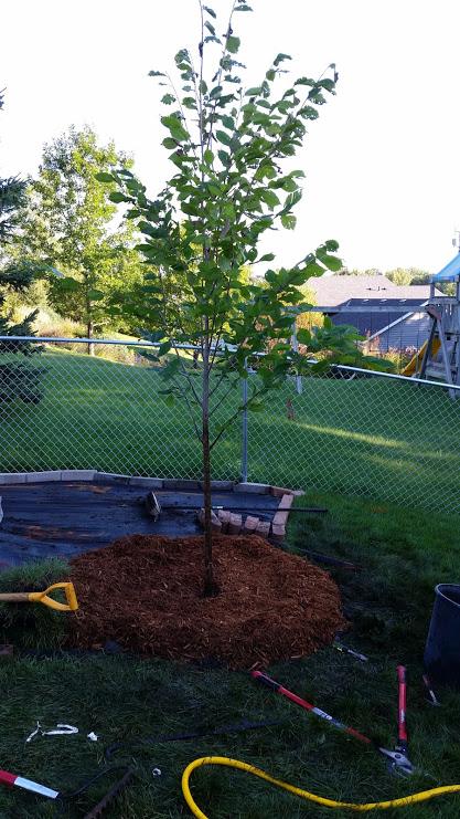 "Freshly planted ""Princeton"" American Elm. ."