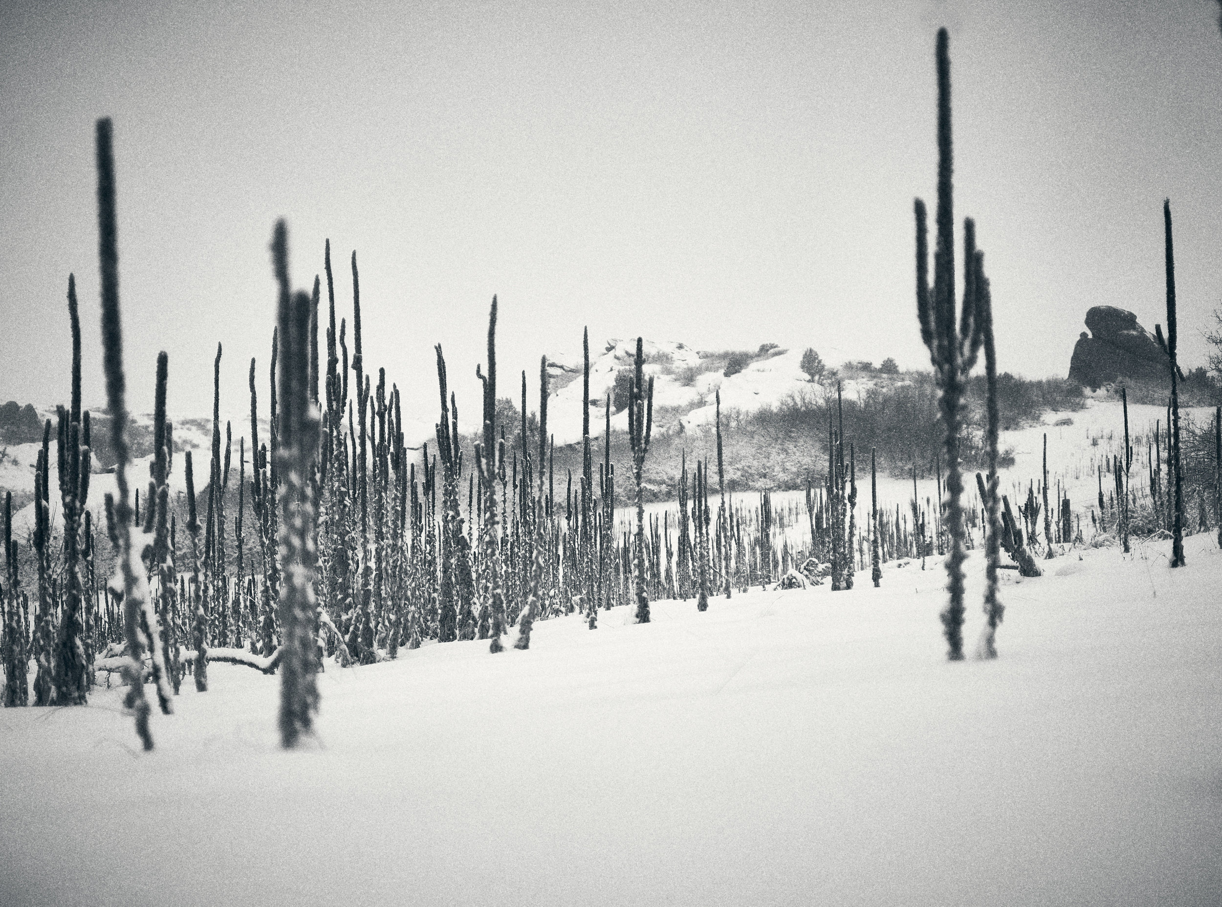 Black and white stalks in snow