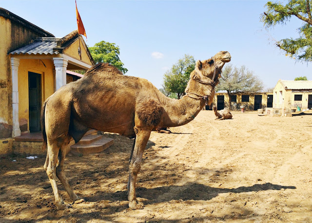 ohdeardrea india roop niwais camel.jpg