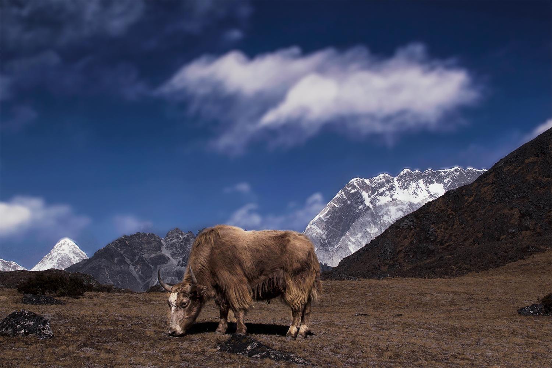 NP.Khumbu.Yak.jpg