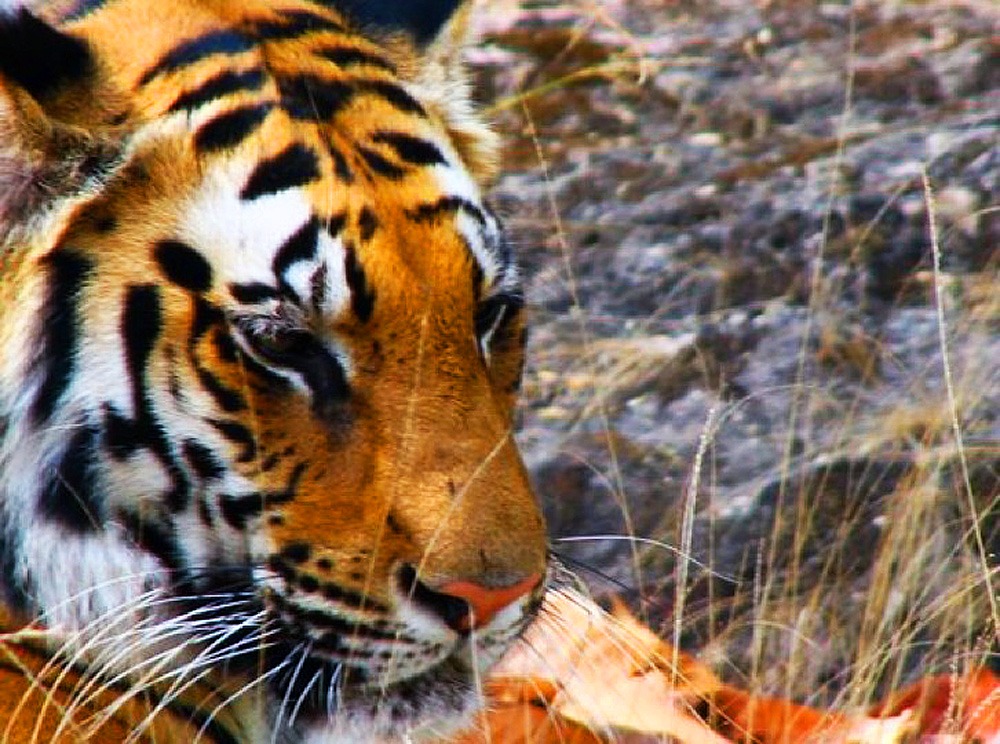 India.TigerFace.jpg