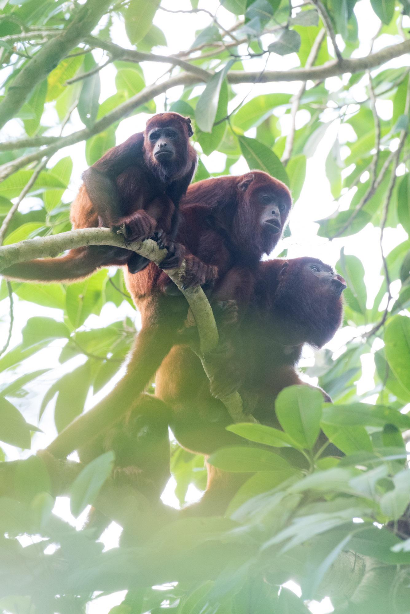 monkeys._El Rio