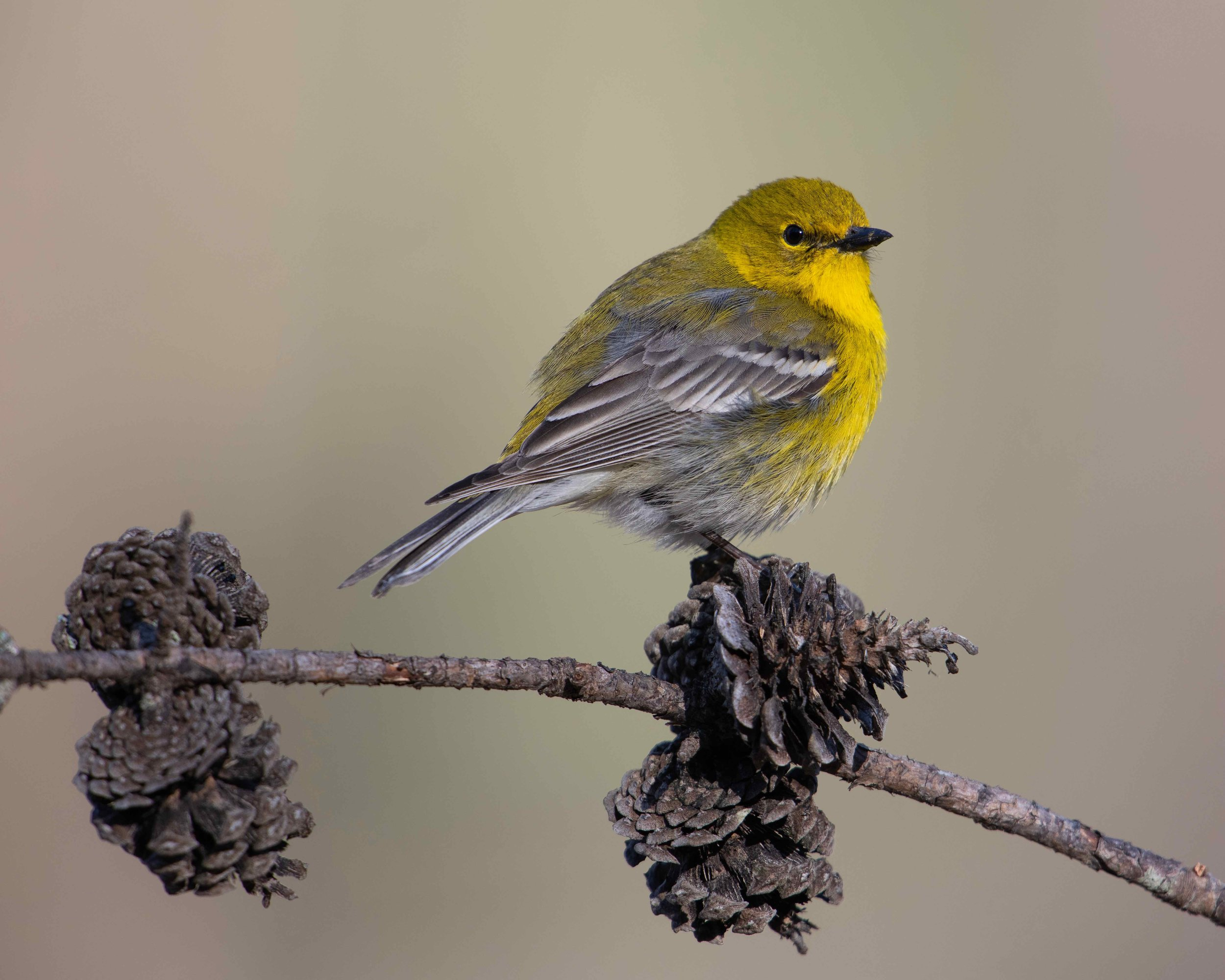 Pine Warbler - Posing on a Pine Cone.