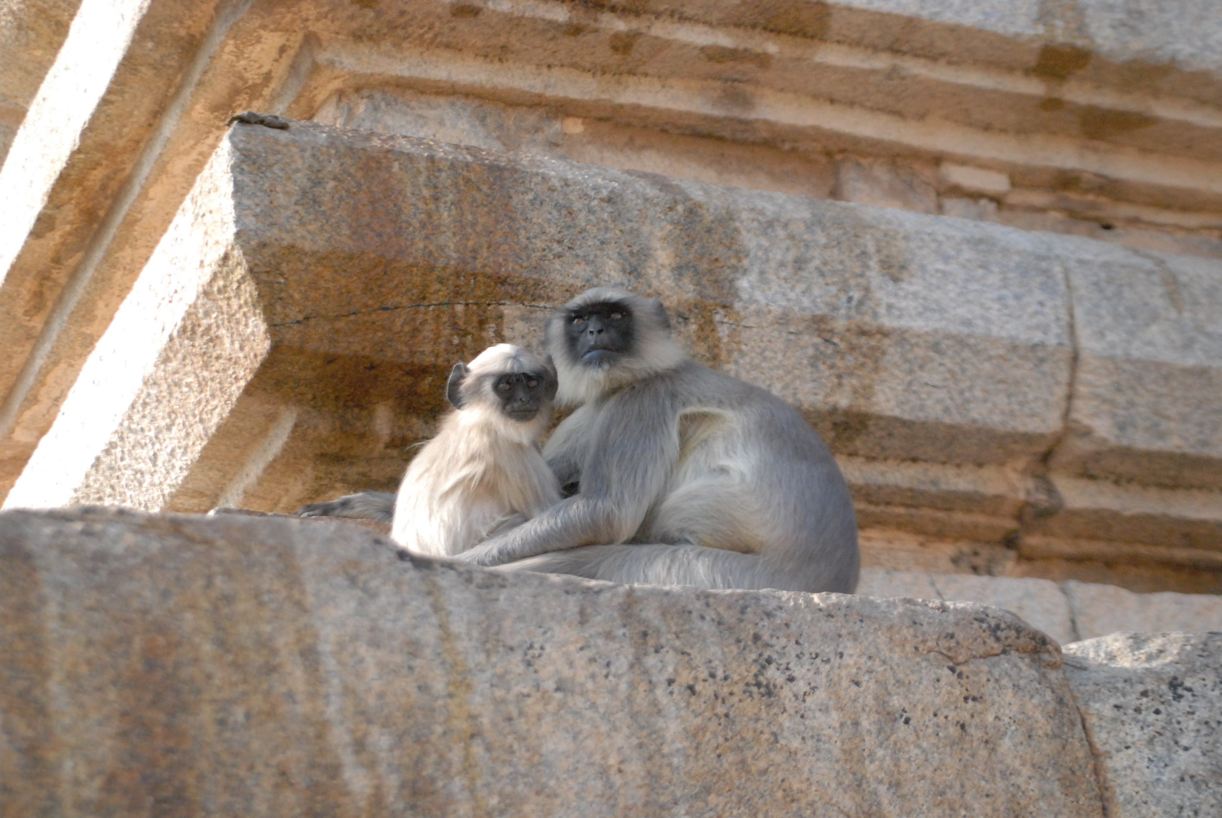 India- Monkeys at Shiva.jpg