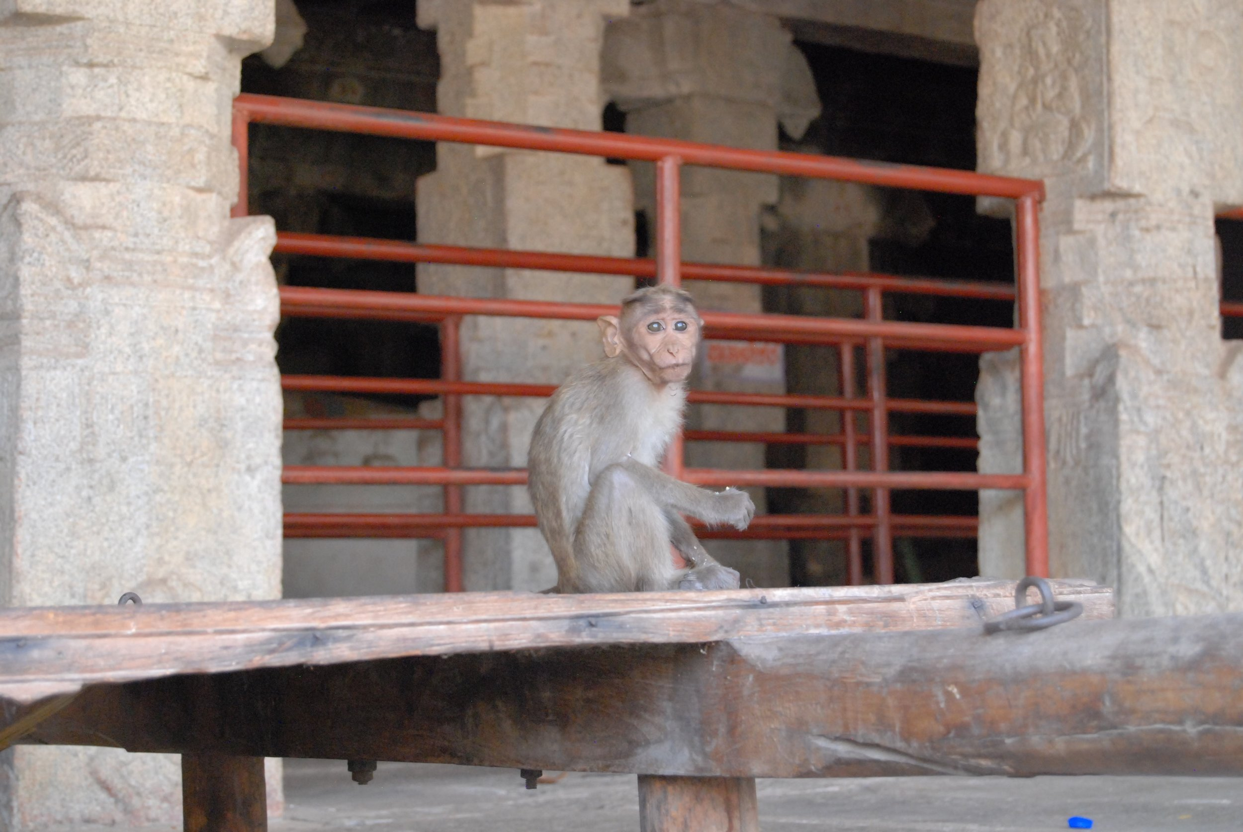 India- Monkeys at Shiva 2.jpg