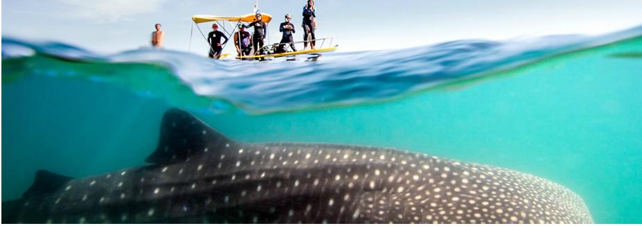 Whale Shark in Todos Santos