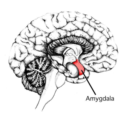 The amygdala, the part of the limbic system which is responsible for processing our emotions.