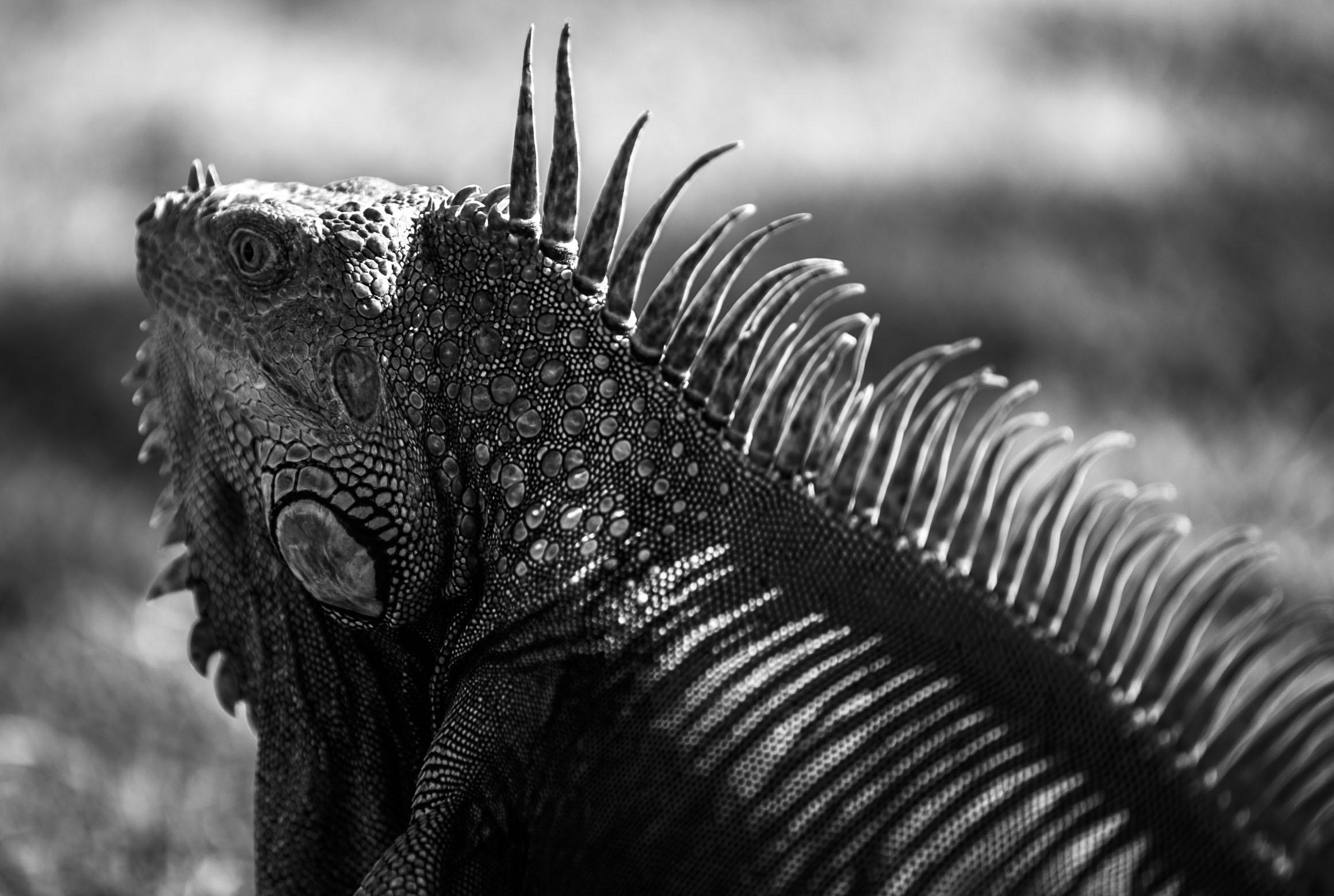 Iguana Shadows.jpg