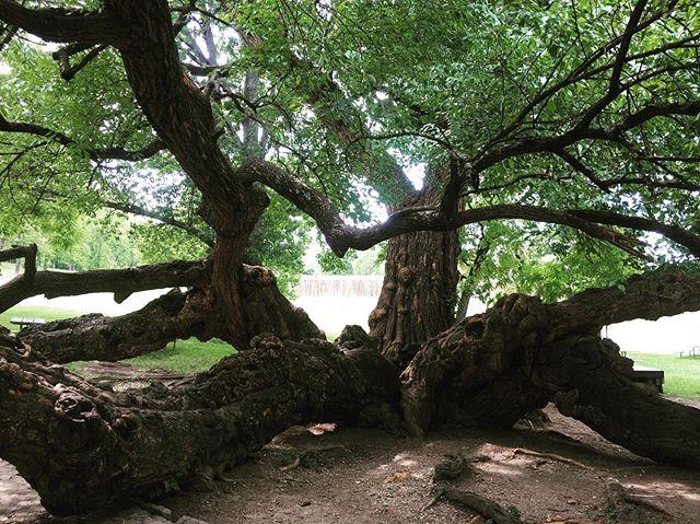 This tree is crazy amazing. 🌲🌿🍃#osageorangetree #treetastic #tree #mothernature