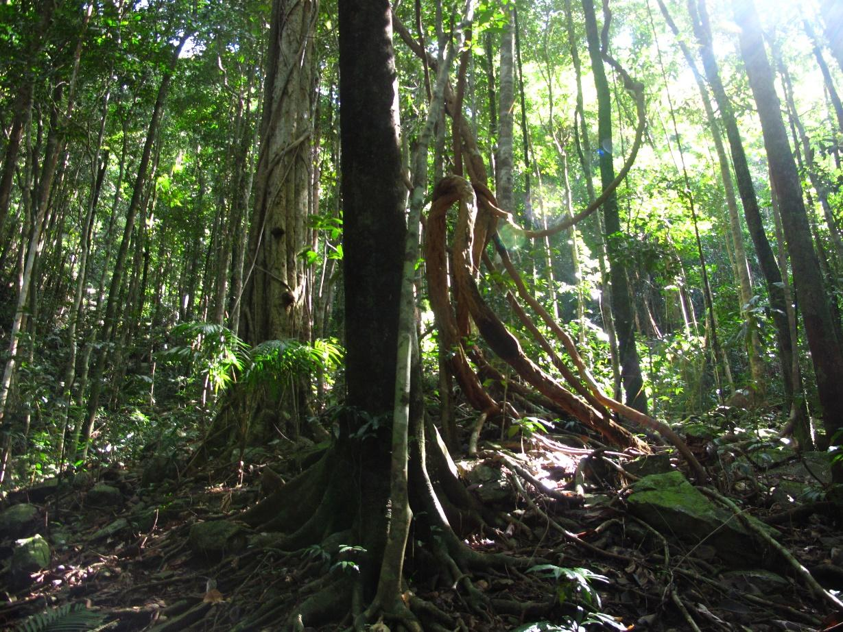 Lowland tropical forests in north-east Queensland, stewarded by Eastern Kuku-Yalanji People for millennia, and now part of an Indigenous Protected Area and World Heritage Site. Photo: R. Hill