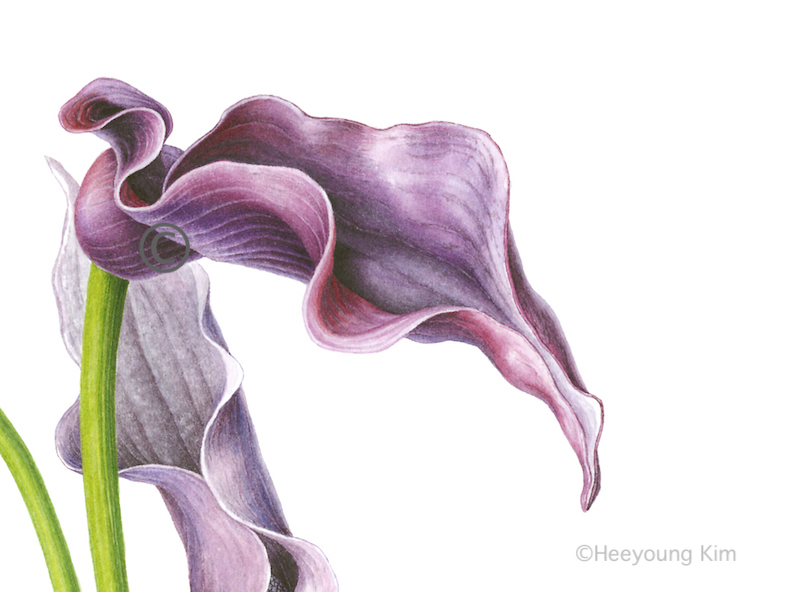 Heeyoung Calla Lilies copy.jpeg