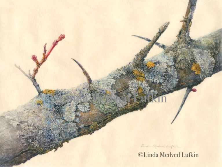 Hawthorn Branch, watercolor by Linda Medved Lufkin