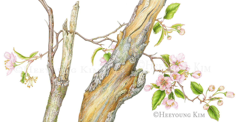 Prairie Crabapple, watercolor, ©Heeyoung Kim