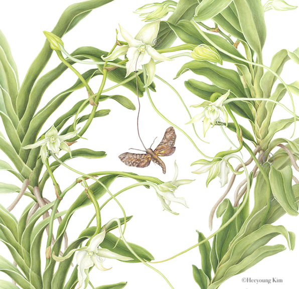 Details of Darwin's Orchid and Sphinx Moth, Watercolor, ©Heeyoung Kim 2019