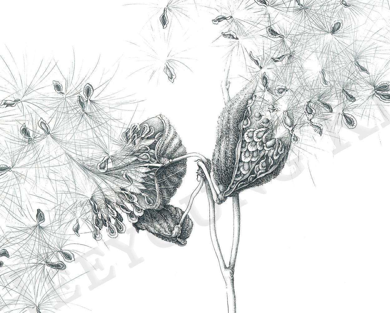 Details of Common Milkweed Seedpods, black pen-and-ink, ©Heeyoung Kim 2019