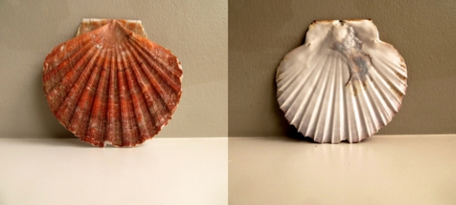 Hermaion 1 .  Scallop Shell (Pecten  albicans)  The ancient Greeks considered a 'lucky find' to be a gift of the god Hermes - the trickster god of crossroads, transitions and boundaries.. Hermions come in many guises, this one was found by a friend while we walked on Saunton Sands in Devon in October 2015.  The  Latin word  pecten  means comb. I have a feeling that I will be again travelling with mermaids.