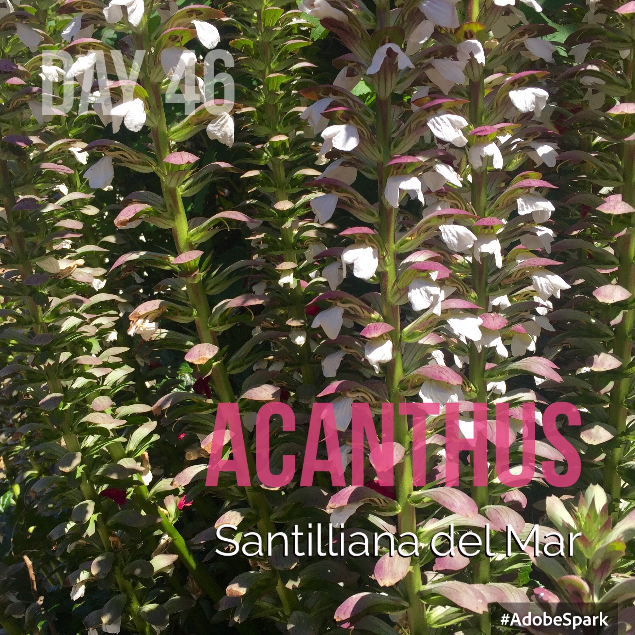 A lovely clump of acanthus en route