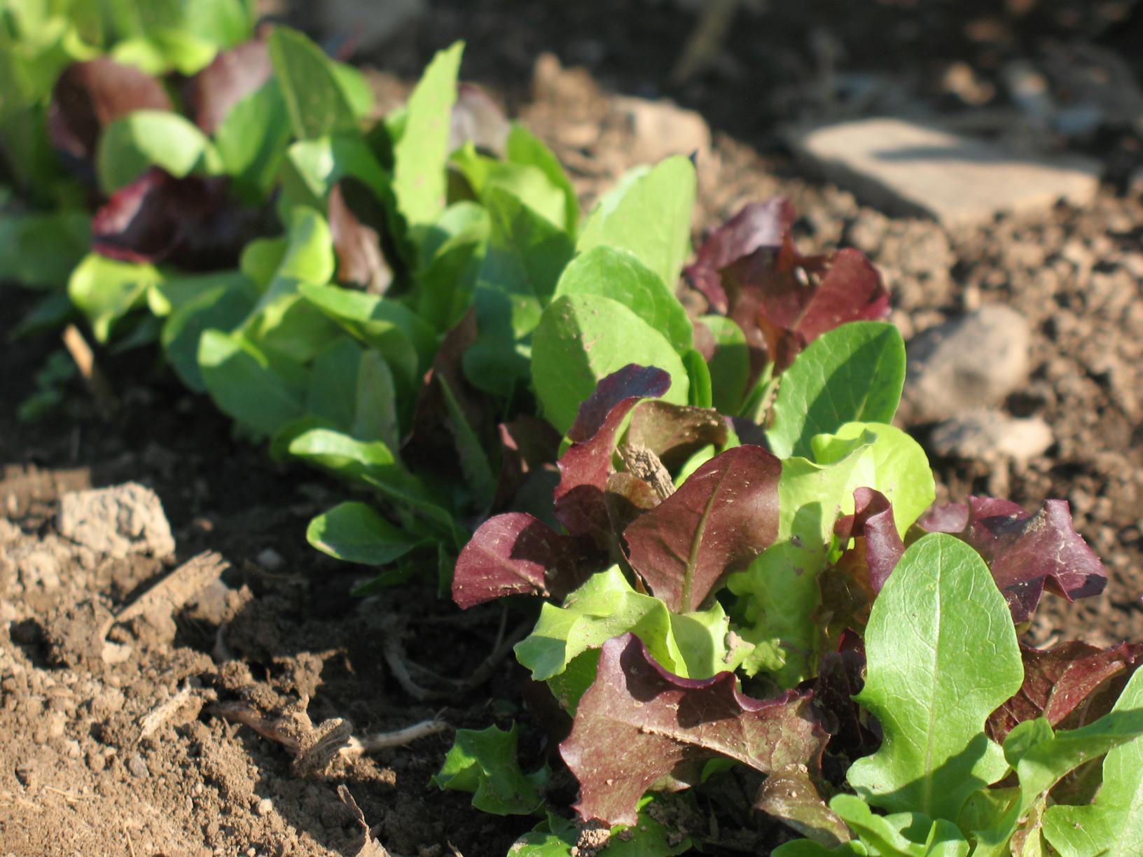 Lettuce-mix_1632x1224.jpg