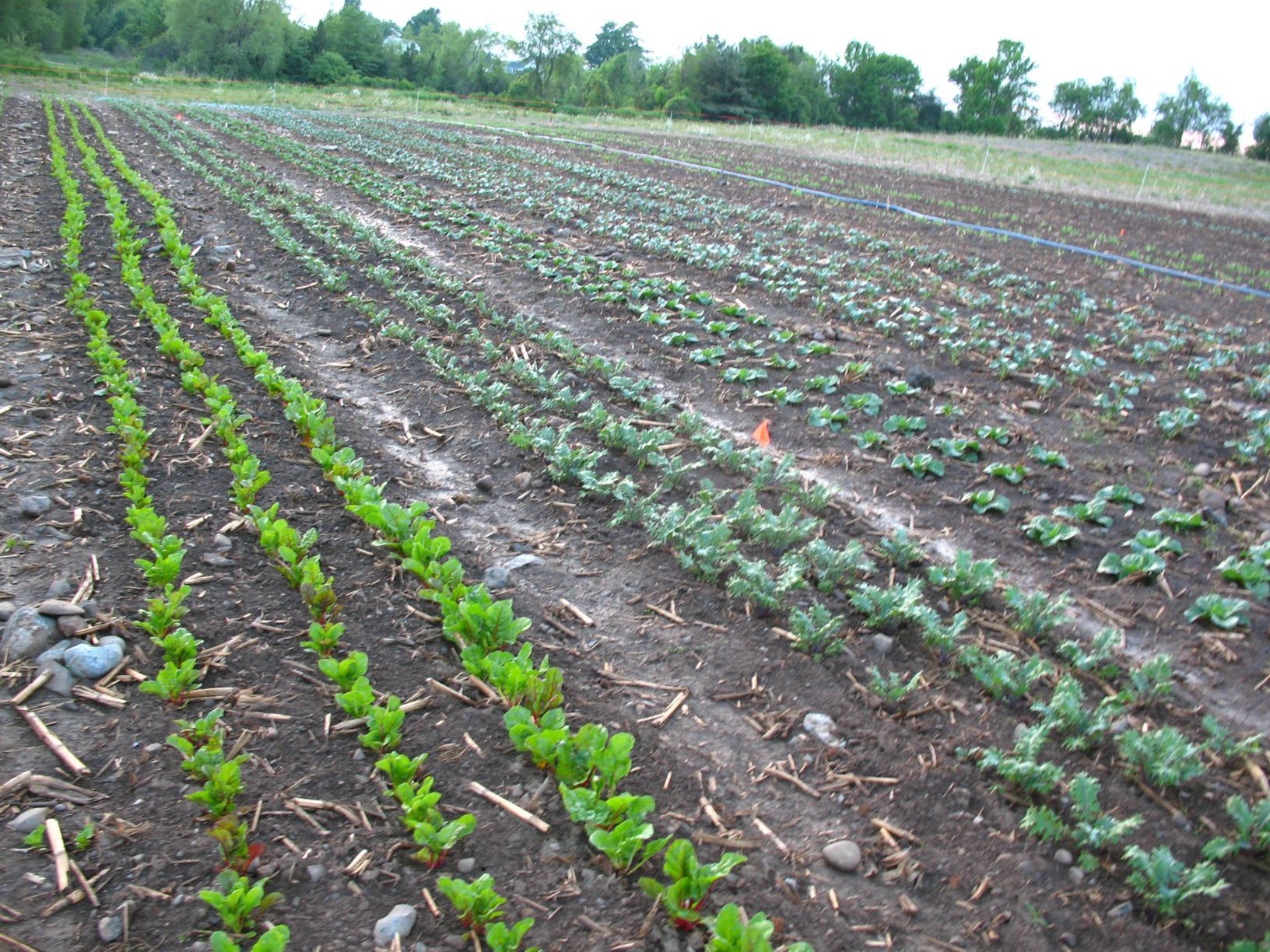Pre-rain-baby-crops_1632x1224.jpg