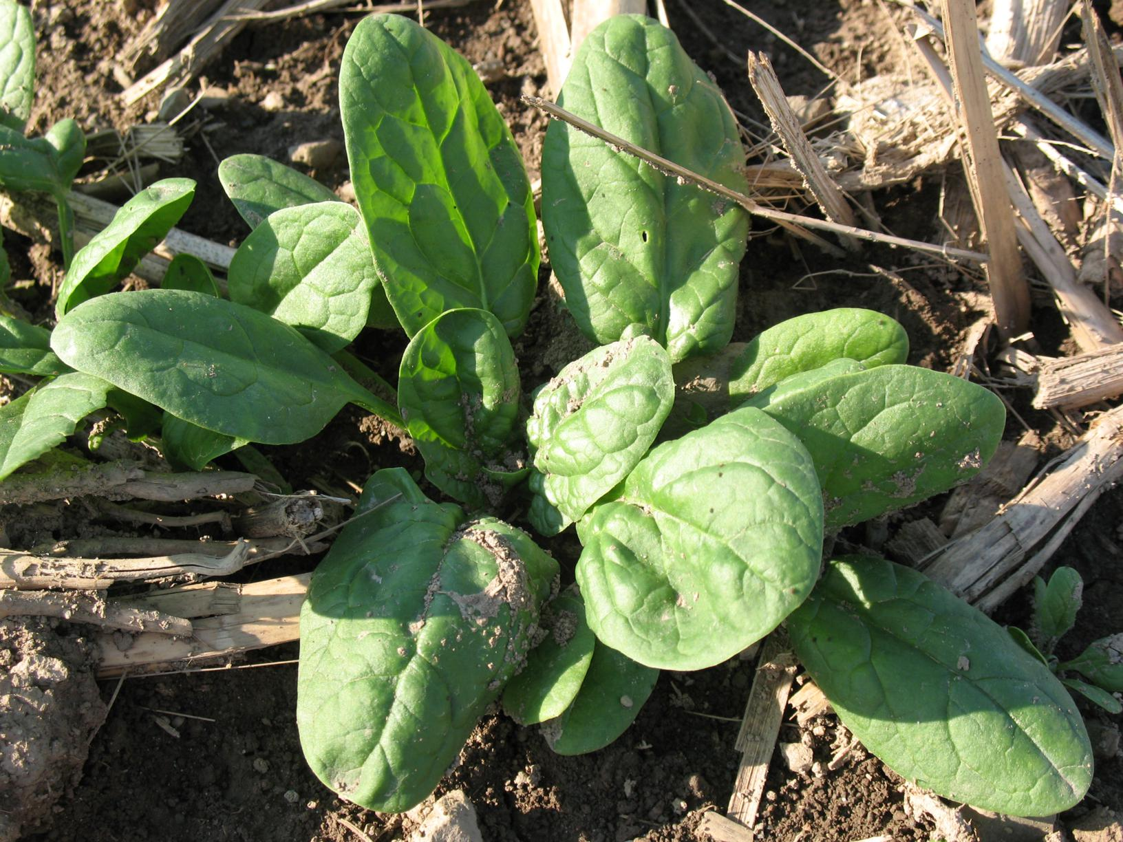 Spinach-almost-ready_1632x1224.jpg