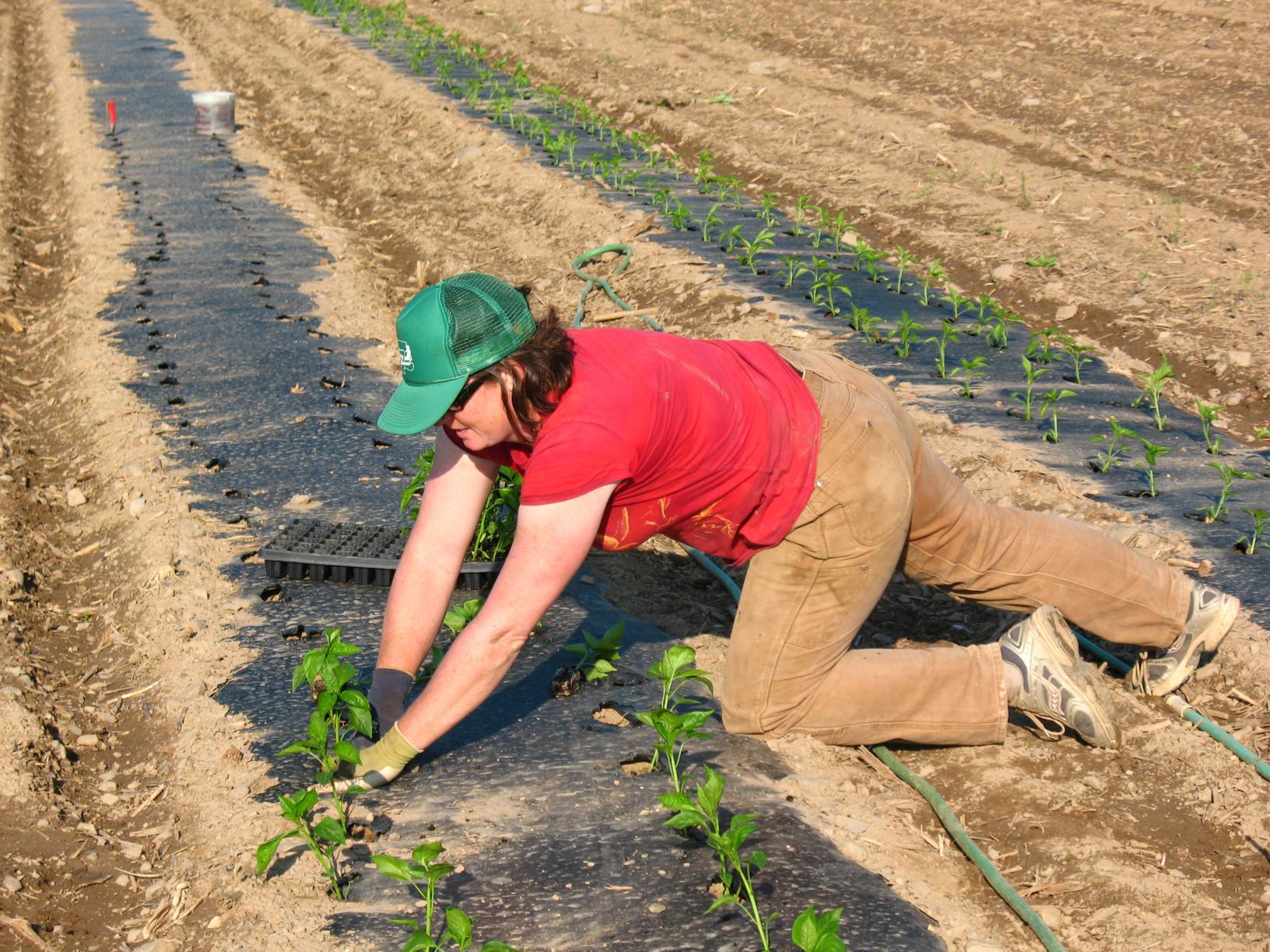 Transplanting-peppers_1632x1224.jpg
