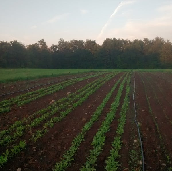 Late fall carrot and beet plantings