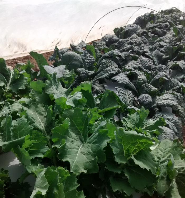 Kale under Insect Covers