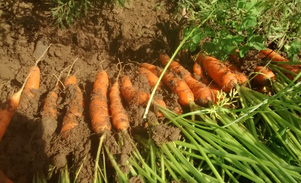 Carrots fresh out of the ground