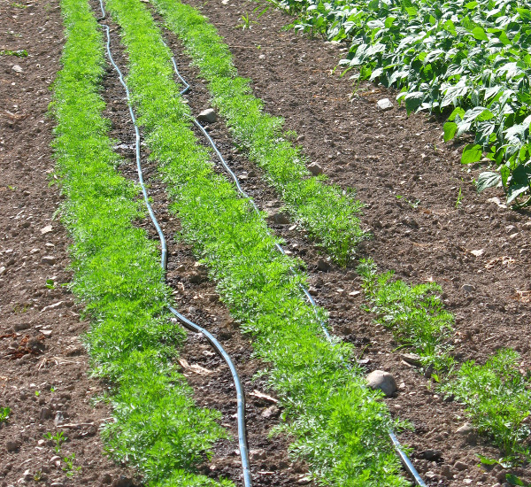 Drip irrigation on carrots in a drought year