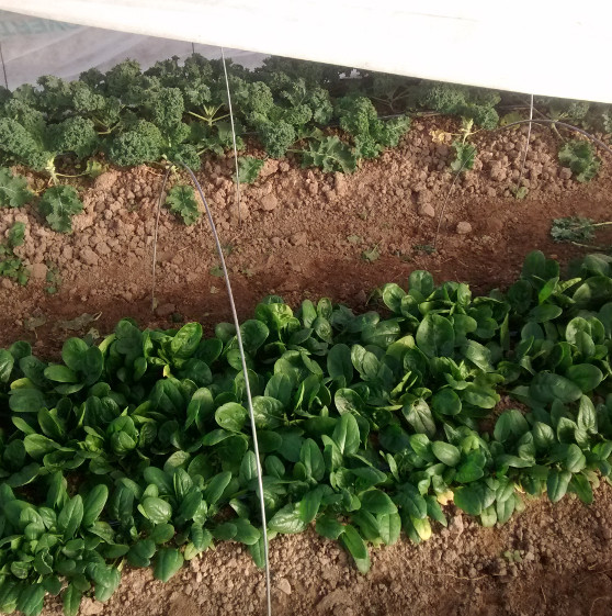 Spinach under row cover in the high tunnel
