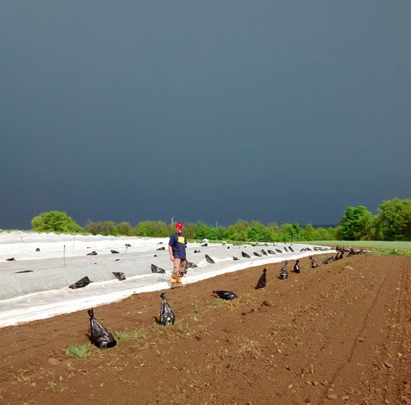 Covering the spinach beds with row cover before a storm