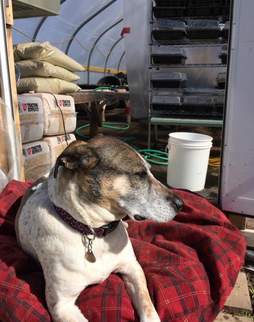 Greenhouse guardian dog enjoying the sun