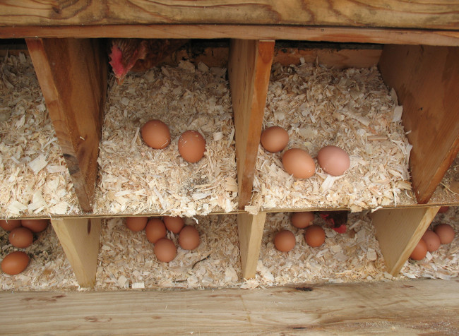 Collecting the eggs under watchful hen eyes...