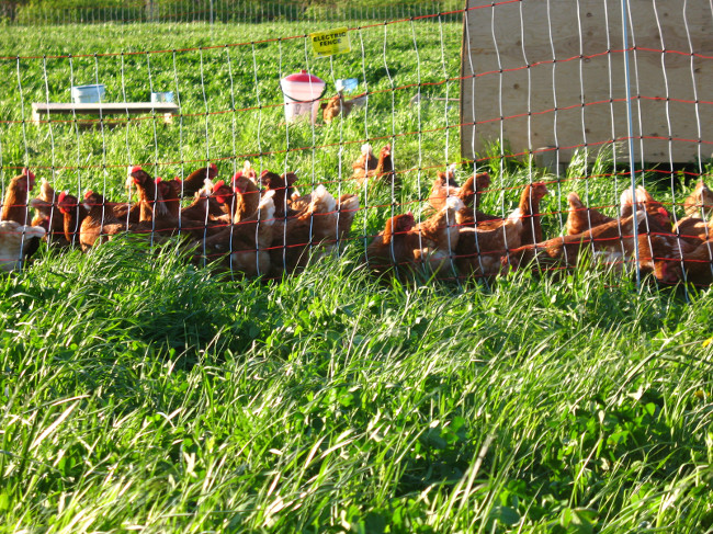 The chickens in their electric fence eyeing the grass (always greener on the other side!)...