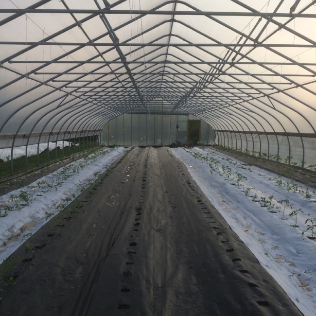 Tunnel tomato planting day! We use 10 year reuseable landscape fabric in here to trap in moisture, and increase tomato yields about 10 times over outside plants!