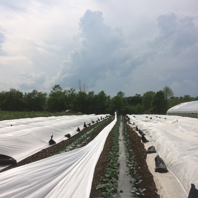 Wrestling with row covers to protect the plants from pests before the next storm rolls through...