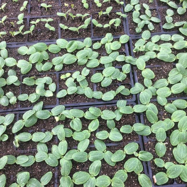 Legions of squash and cucumbers, about 1 week out from being ready to transplant!