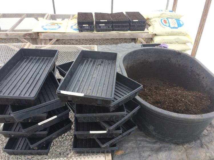 Getting trays ready to fill with our pre-moistened potting soil.