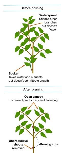 FIGURE-2-Pruning-illustration-2.jpg