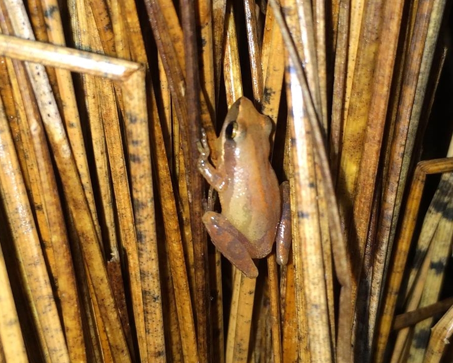 Little Grass Frog ( Pseudacris ocularis ).