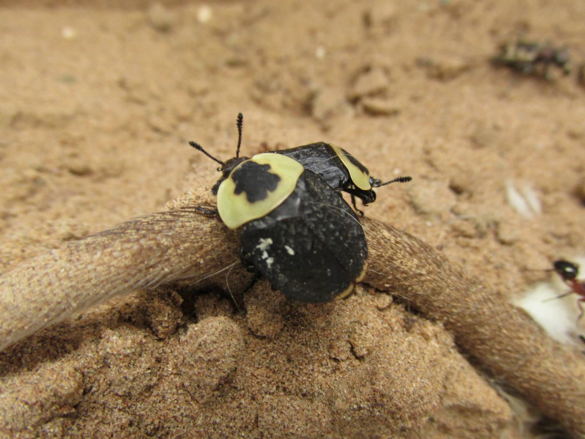 American Carrion Beetles