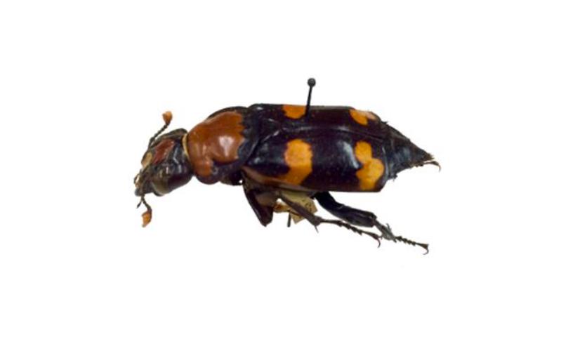 American Burying Beetle