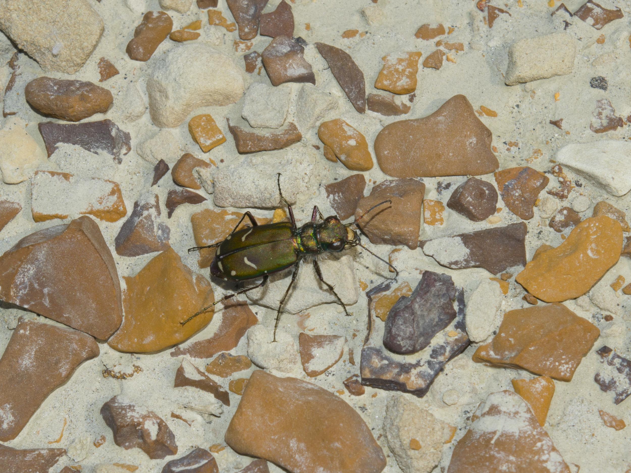 Cow Path Tiger Beetle (Cicindela purpurea)