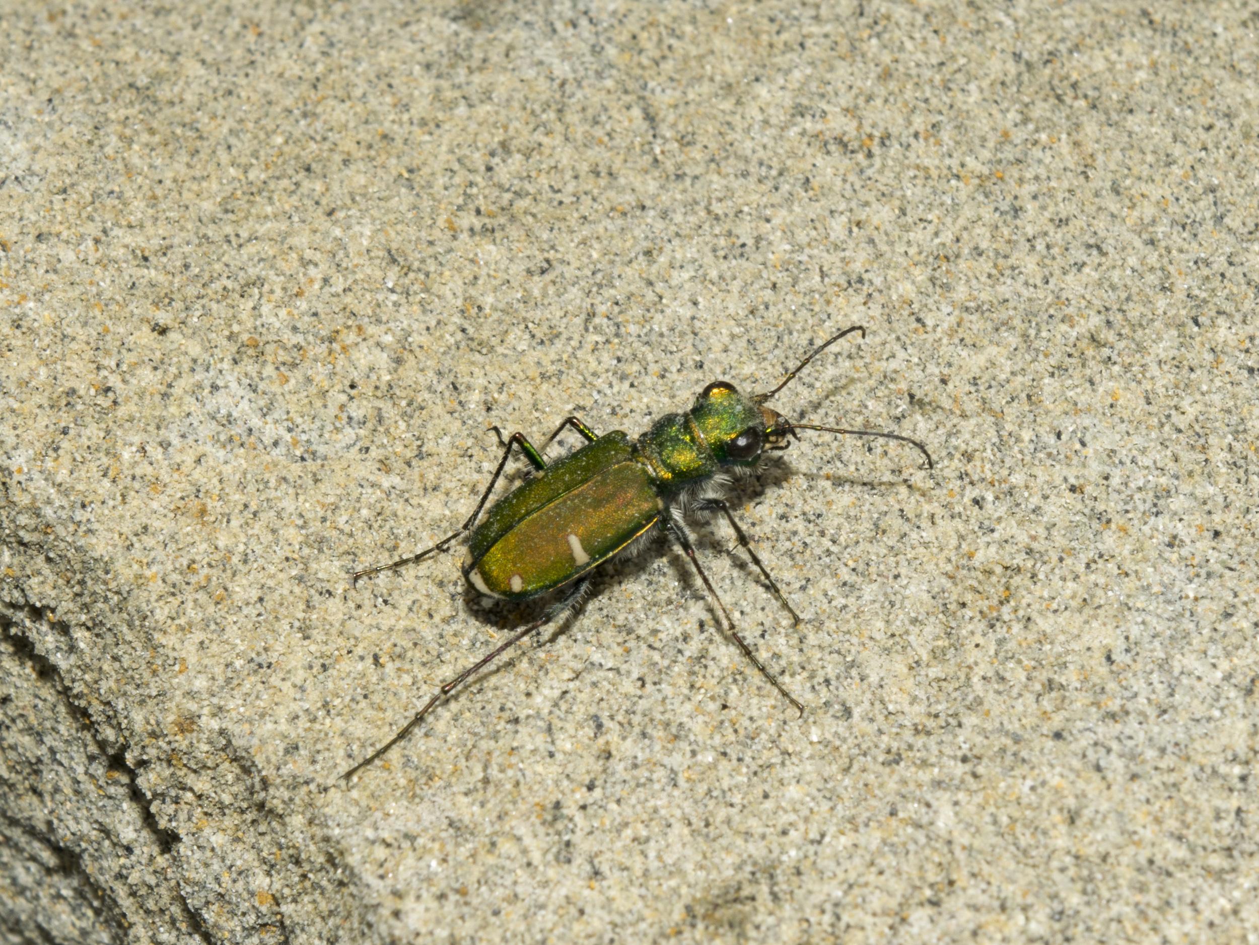 Green Claybank Tiger Beetle (Cicindela denverensis)