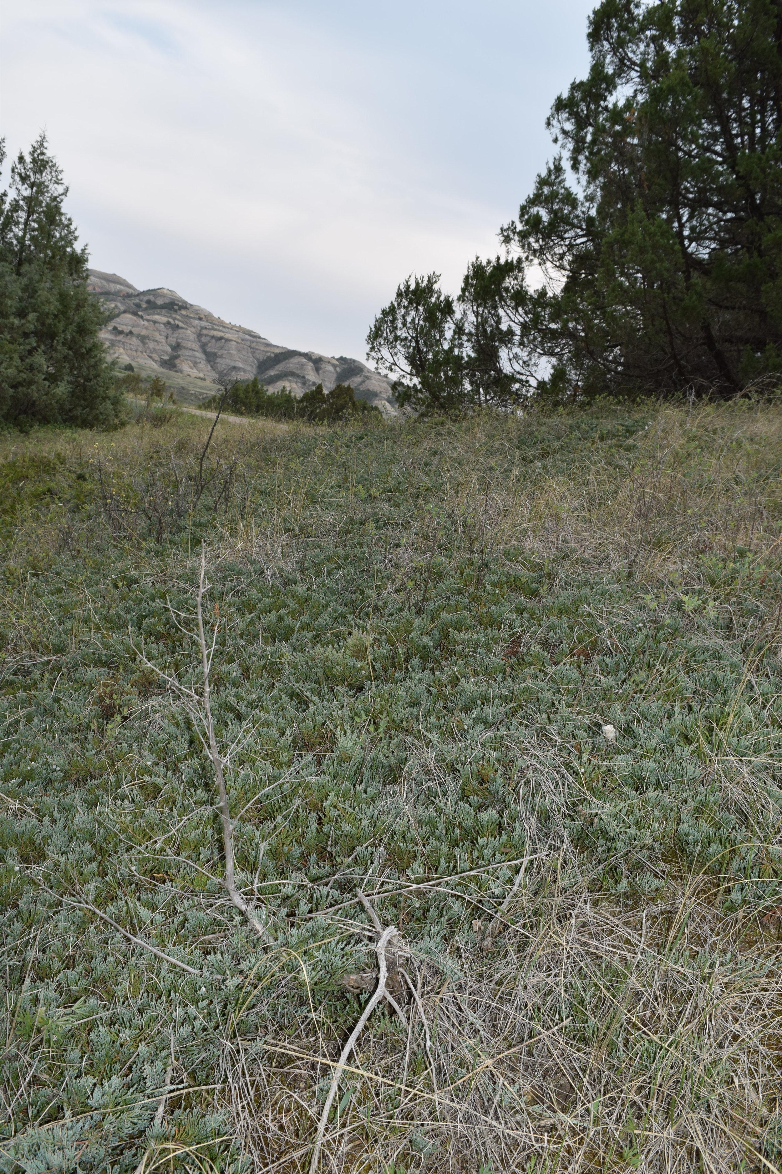 Creeping Juniper (Juniperus horizontalis)