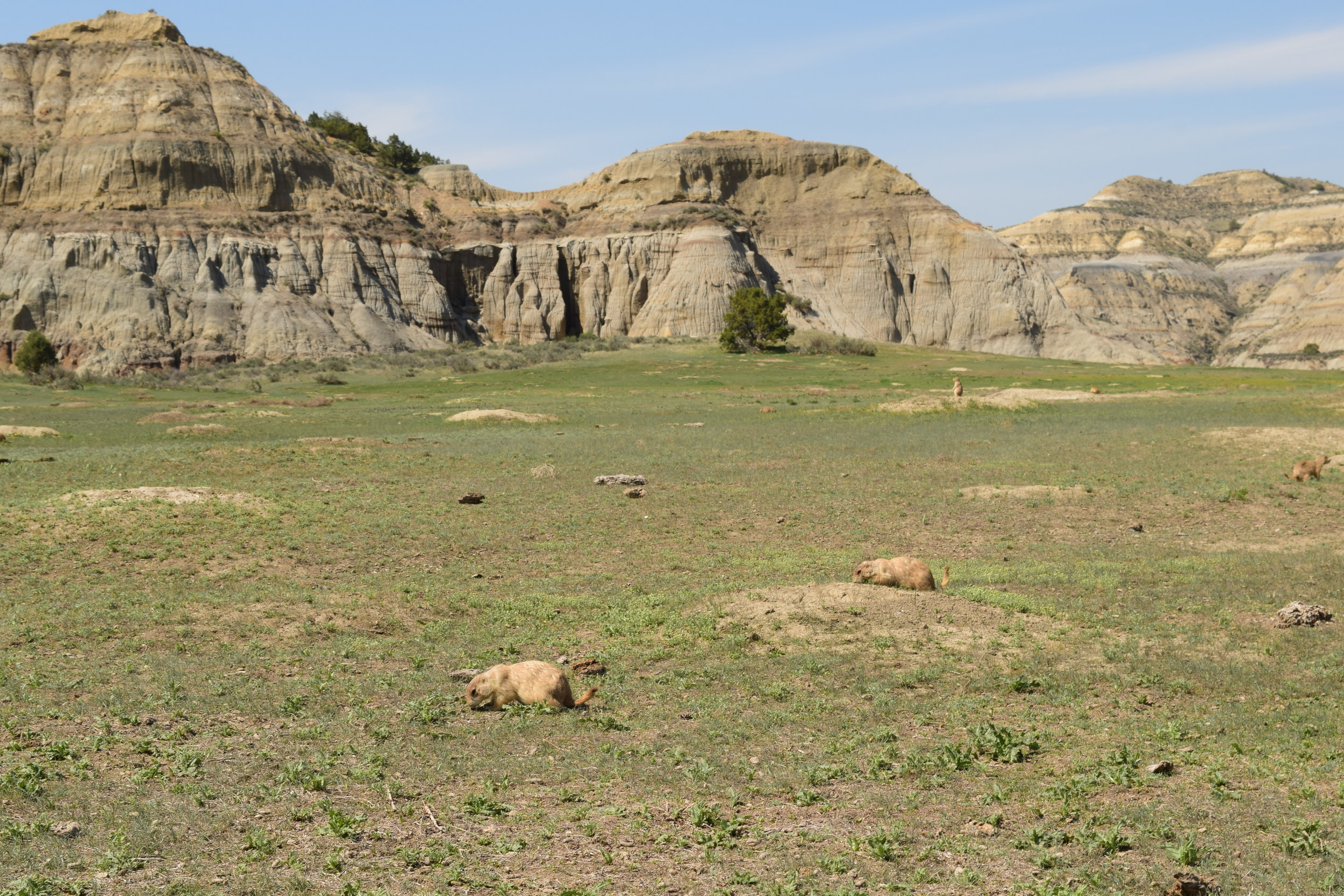 Black-tailed Prairie Dog Town