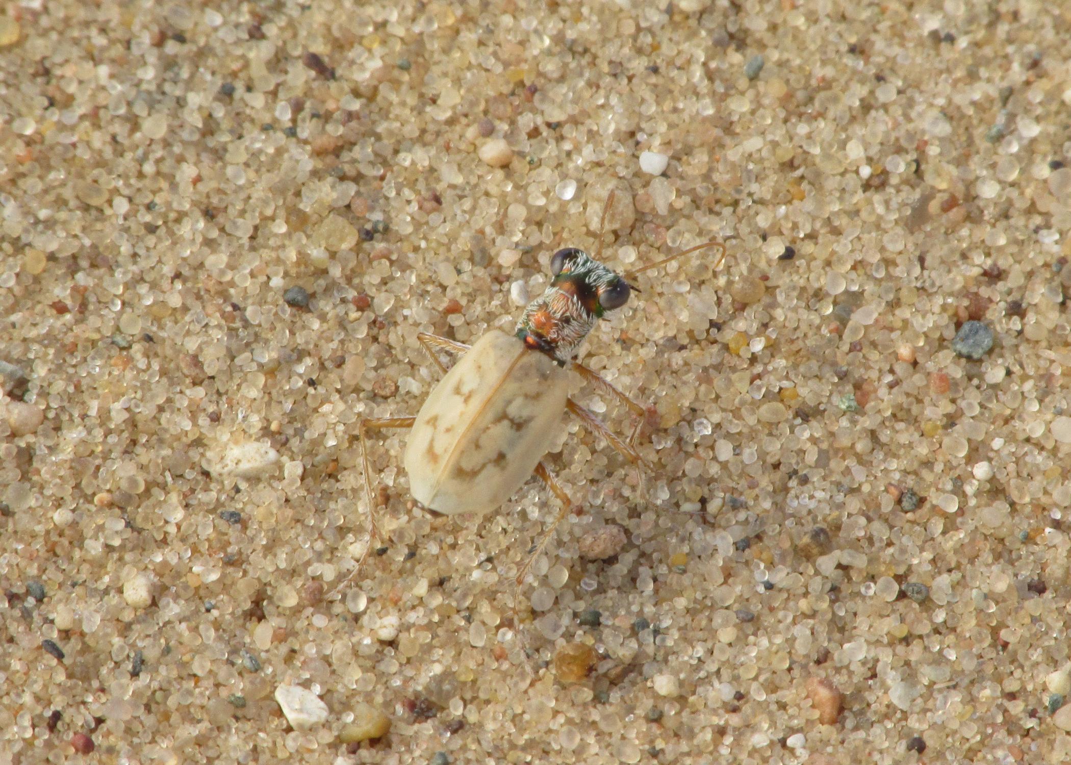 Lifer Ghost Tiger Beetle ( Ellipsoptera lepida ) - Portage County, Wisconsin!