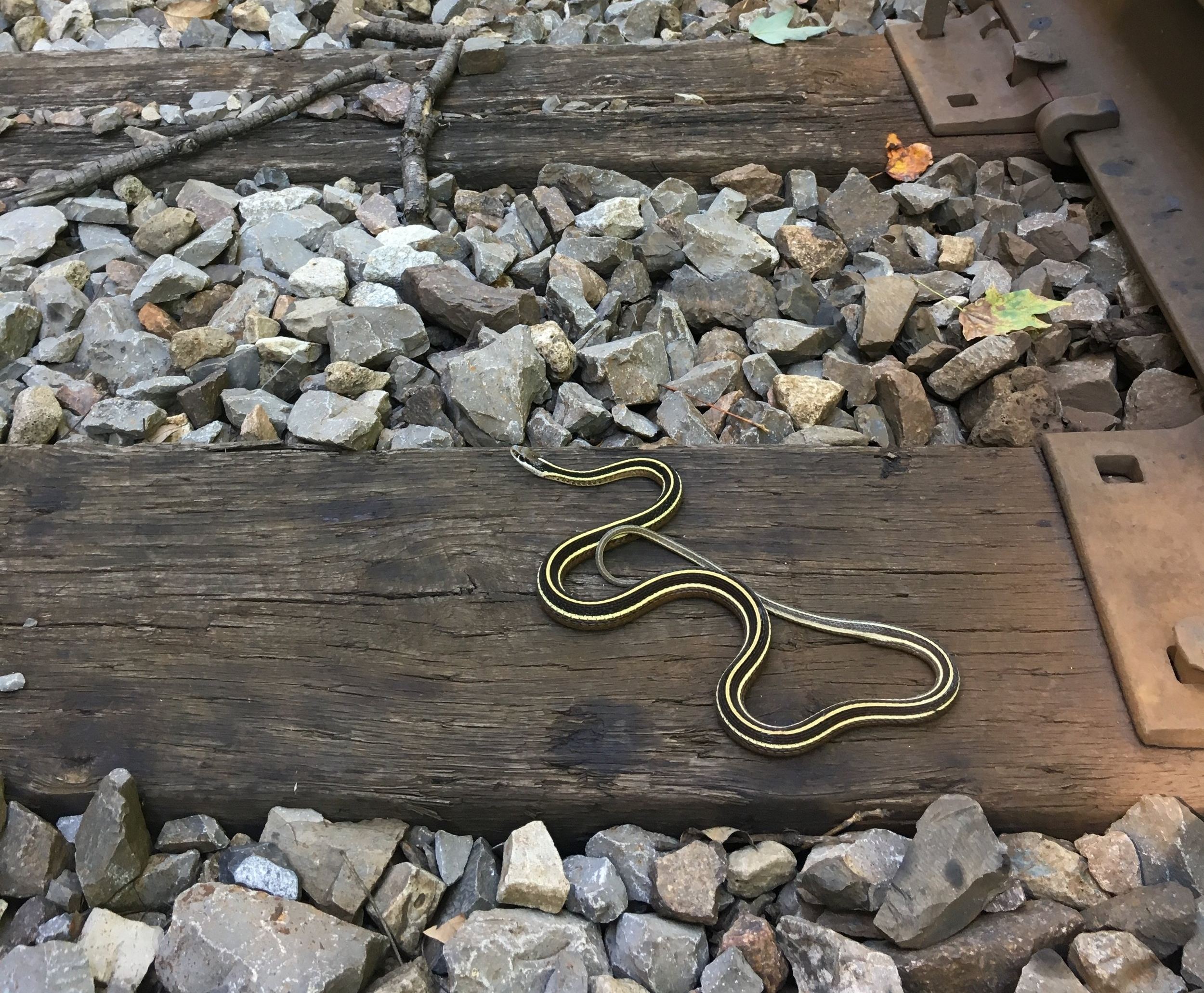 Eastern Ribbonsnake found along railroad tracks