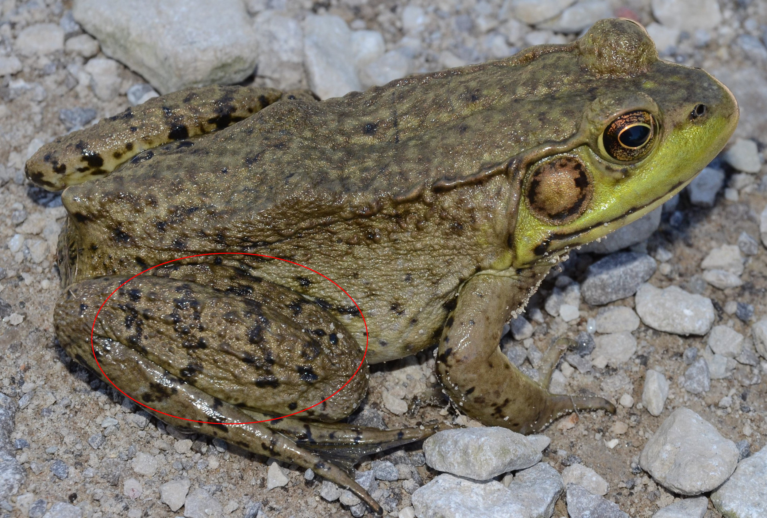 Figure 2.  Green frog ( Lithobates clamitans ) with striping on high leg. Photo courtesy of Mark Nenadov, Wikimedia Commons.