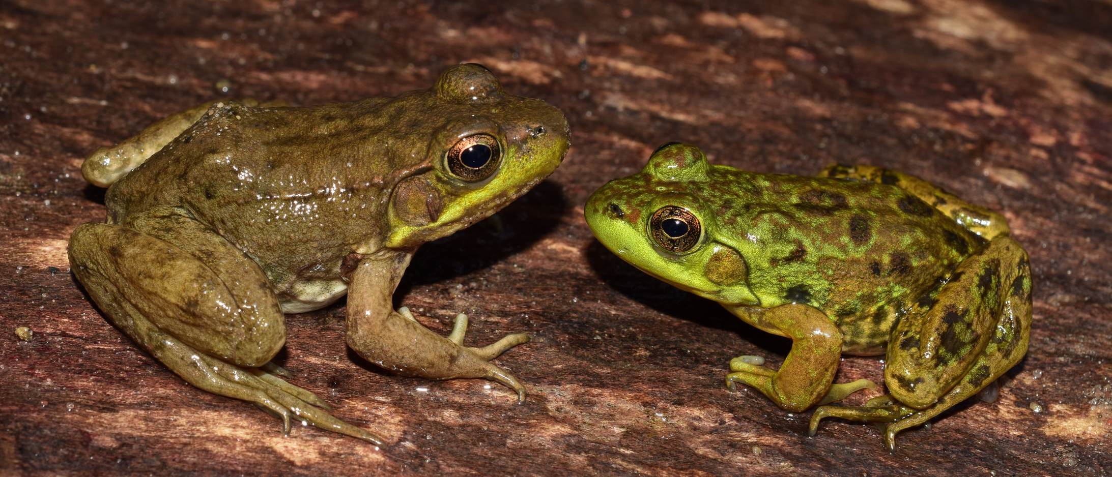 Left:  Green frog ( Lithobates clamitans ).  Right:  Mink Frog ( Lithobates septentrionalis ). Photo: Christopher E. Smith
